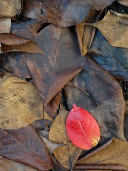 Jacobs_Susan_1Red Leaf