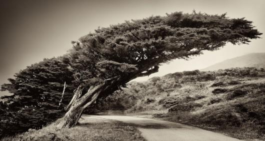 Windswept Tree on the Pacific Coast