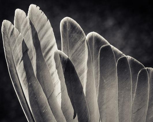 wing feathers of a mourning dove...
