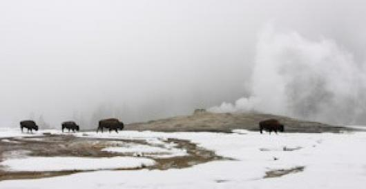 Heron_Elaine_3Bison at Old Faithful
