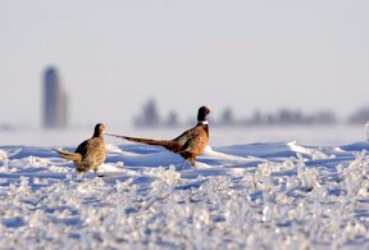 Ruf_Daniel_1Winter-Pheasants1