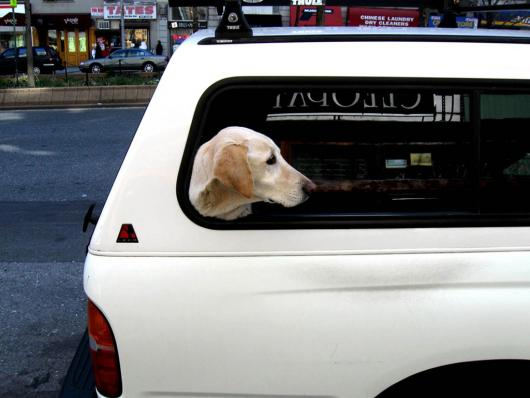 Dog in white car NYC